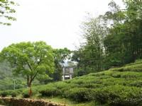 茶園<br/> 攝影:簡時強