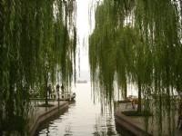 青翠碧綠的垂柳<br/> 攝影:余燕鳳