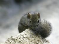 赤腹松鼠<br/> 攝影:簡時強
