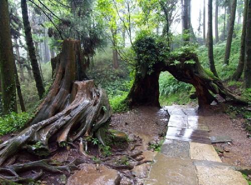 阿里山神木-自然長成的拱門