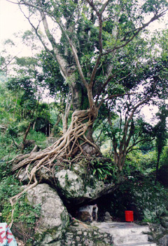 深坑母子树