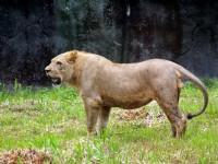 獅子<br/> 攝影:amo