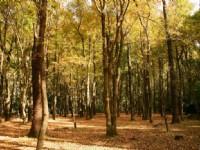 清晨的楓香林景觀<br/> 攝影:老山羊部落格