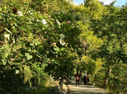 知本国家森林游乐区-森林浴步道旁的山芙蓉