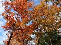 楓香樹冠層<br/> 攝影:老山羊部落格