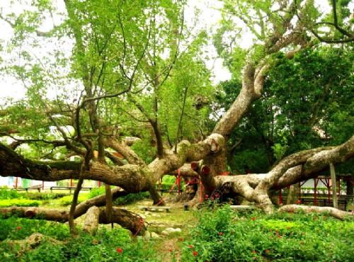 五福臨門神木-特異的五樹共生