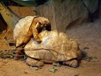 豹紋象龜<br/> 攝影:amo