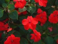 大紅鳳仙花<br/> 攝影:簡時強