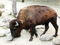 美洲野牛<br/> 攝影:amo