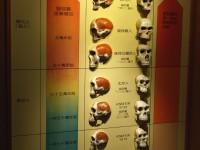 人類頭骨的演化<br/> 攝影:簡時強
