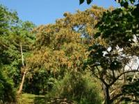 榕蔭步道的白刨子樹<br/> 攝影:老山羊部落格