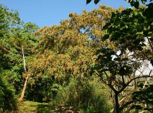 知本国家森林游乐区-榕蔭步道的白刨子樹