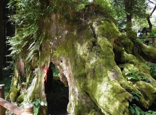Alishan Forest Recreation Area-201407象鼻木