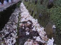 桐花地毯<br/> 攝影:xcatx