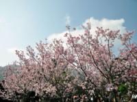 2010陽明山櫻花季<br/> 攝影:amo