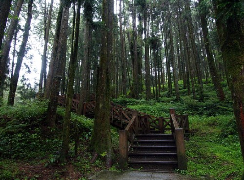 阿里山神木-森林步道
