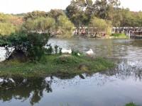 湖中有許多鴨鵝<br/> 攝影:陳皮梅