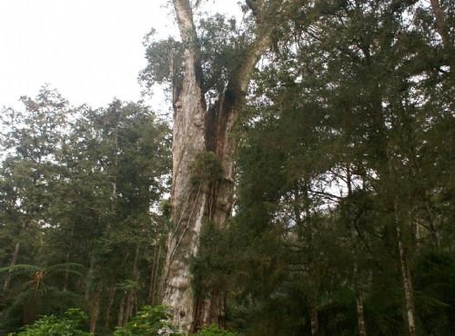 溪頭自然教育園區(溪頭森林遊樂區)-神木