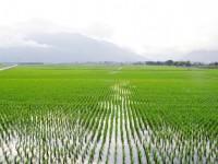 綠油油的稻田是此地的標記<br/> 攝影:Eva隨手拍