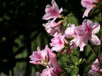 粉紅杜鵑花<br/> 攝影:簡時強