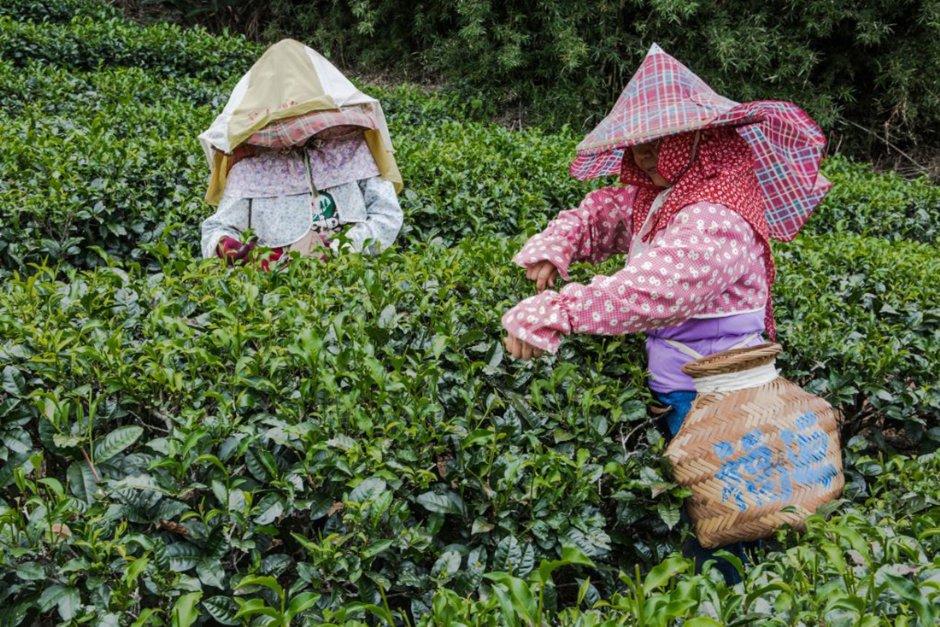福源茶廠 / 桃園市政府觀光旅遊局 提供