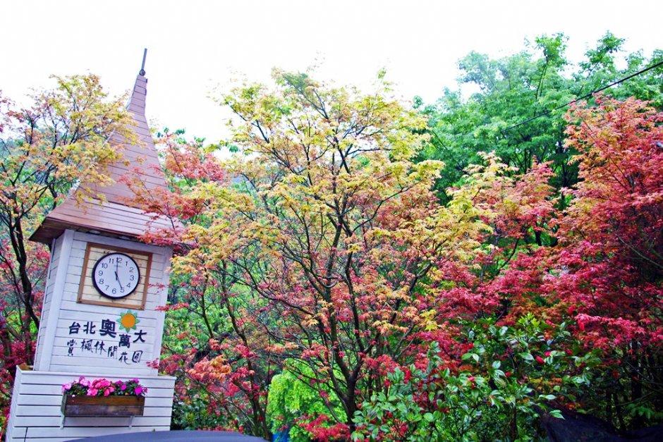 台北奧萬大的楓葉為日本青楓,每年約3-5月是最佳觀賞期 / Eva隨手拍