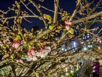 乐活夜樱、阳明山花季、竹子湖海芋绣球花季 「2021花in台北」接力放闪