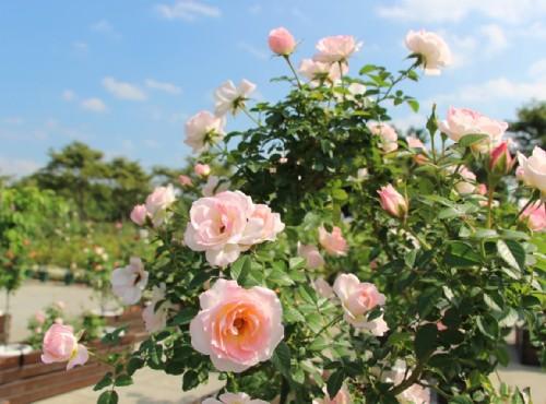 台北玫瑰園是台灣首座以古典玫瑰為主題的花園 / 照片來源_花in台北官網