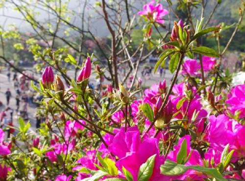 杜鵑花為台北市市花 / Eva隨手拍