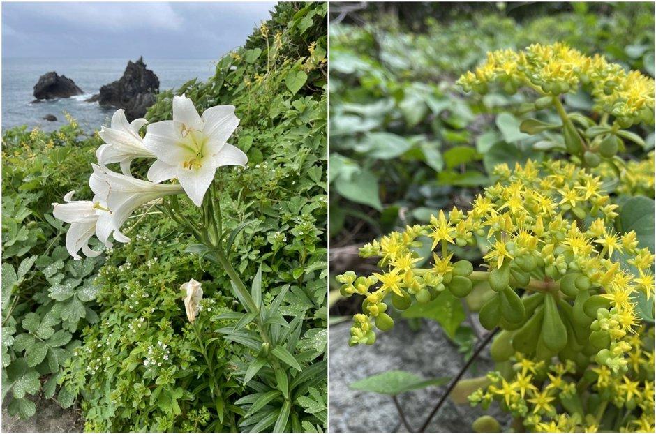 基隆嶼擁有豐富生態,每年4-5月除可見野百合、鐵砲百合(左圖)外,小巧可愛的「石板菜」(右圖)也是常見植物 / Eva隨手拍