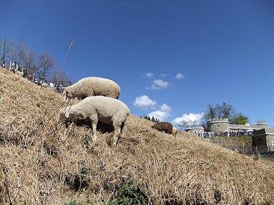 清境農場綿羊/xcatx
