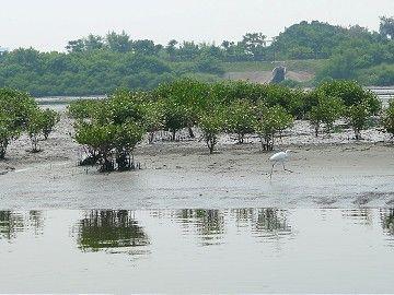 在曾文溪口過冬或過境的鳥類多達200多種