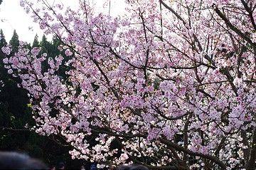 陽明山花季 / evapan