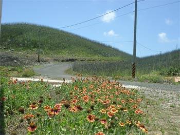 鄉間路上的天人菊  (圖片提供:joelin)