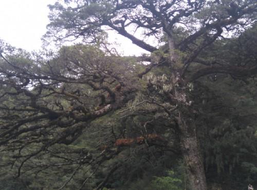 大鐵杉/LU