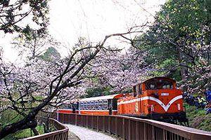 阿里山櫻花 / 簡時強提供
