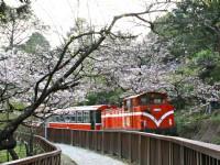 赏花季系列报导(二)春天赏樱的重头戏-阿里山樱花季