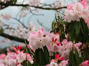 2007阿里山櫻花季/簡時強 攝影提供