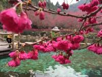 九族櫻花祭 欣賞空前美麗的台灣第一夜櫻