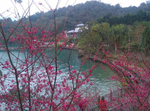 伊達邵親水步道旁盛開的櫻花/Lu