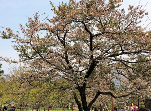 阿里山櫻花於三月中旬壓軸登場 / 簡時強 提供