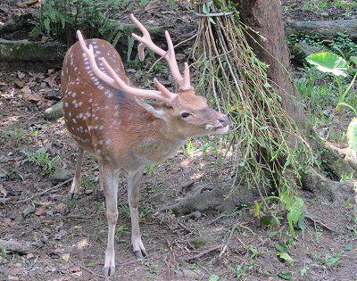 可愛的梅花鹿是台灣特有亞種,身上的斑點是特徵 黃儒永/提供