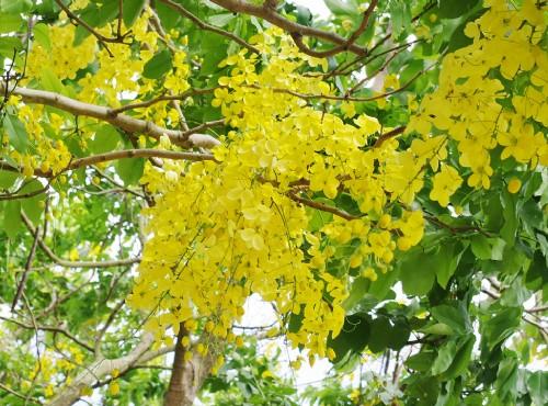 五月黃金雨 阿勃勒花季