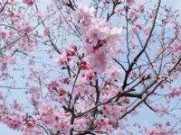 賞櫻正逢時 新北市櫻花季讓你感受幸福時光