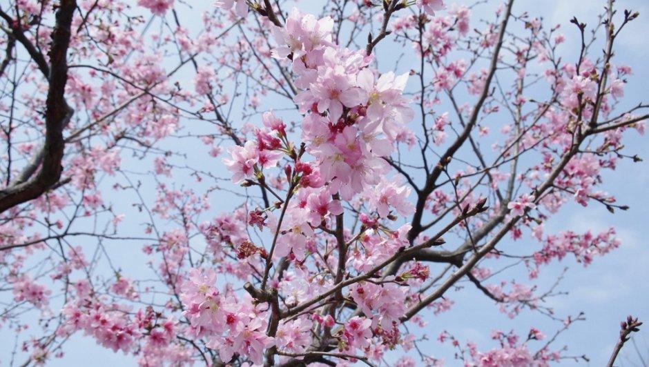 三芝三生步道旁美麗的櫻花/Eva隨手拍