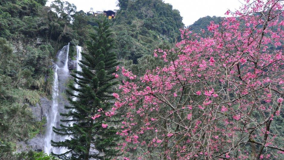 烏來瀑布與櫻花樹/kavin