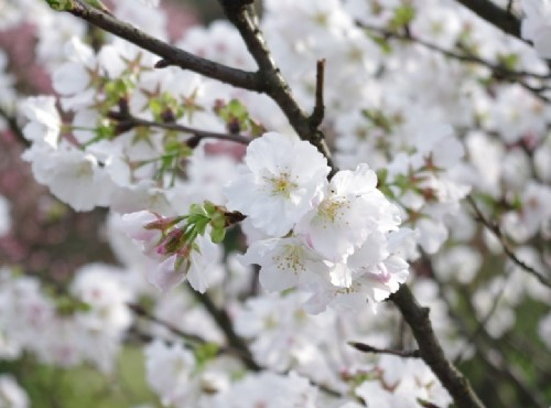 迎接花開好時節~台北陽明山花季