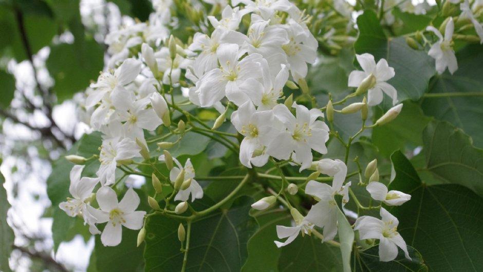 許多縣市都種植了美麗的桐花樹/Eva隨手拍