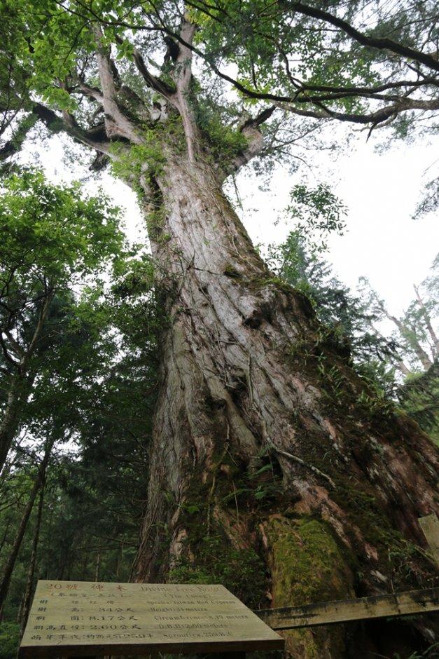 棲蘭神木園內高聳參天的千年神木 / 明池山莊 提供