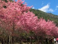 春天賞櫻季節 讓我們追櫻去